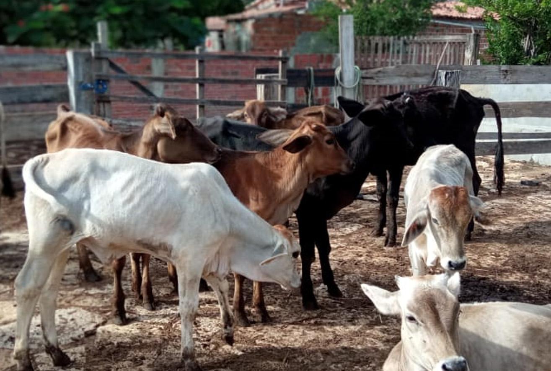 Secretaria vai dividir Mossoró em quatro polos para vacinação contra febre aftosa