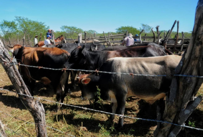 Vacinação da febre aftosa continua nesta quarta-feira em 8 comunidades rurais