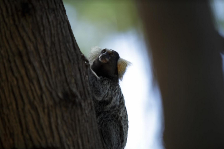 Visitantes do Parque Municipal convivem em paz com macacos saguis